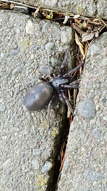 Observation: white-tailed spider