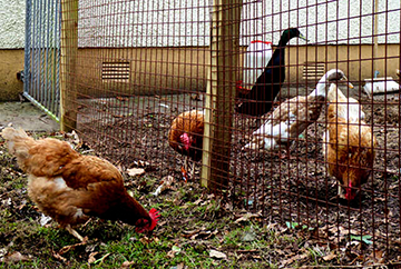 hens-feature