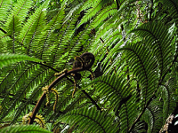 koru and ferns
